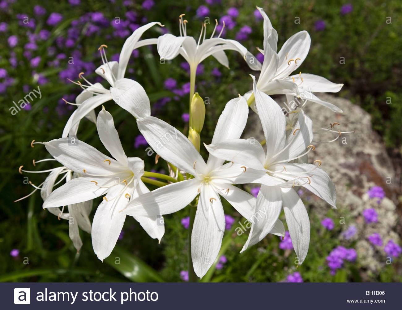 Murray Lily (Crinum flaccidum) , Kwiambal National Park, New South Wales, Australia - Stock Image