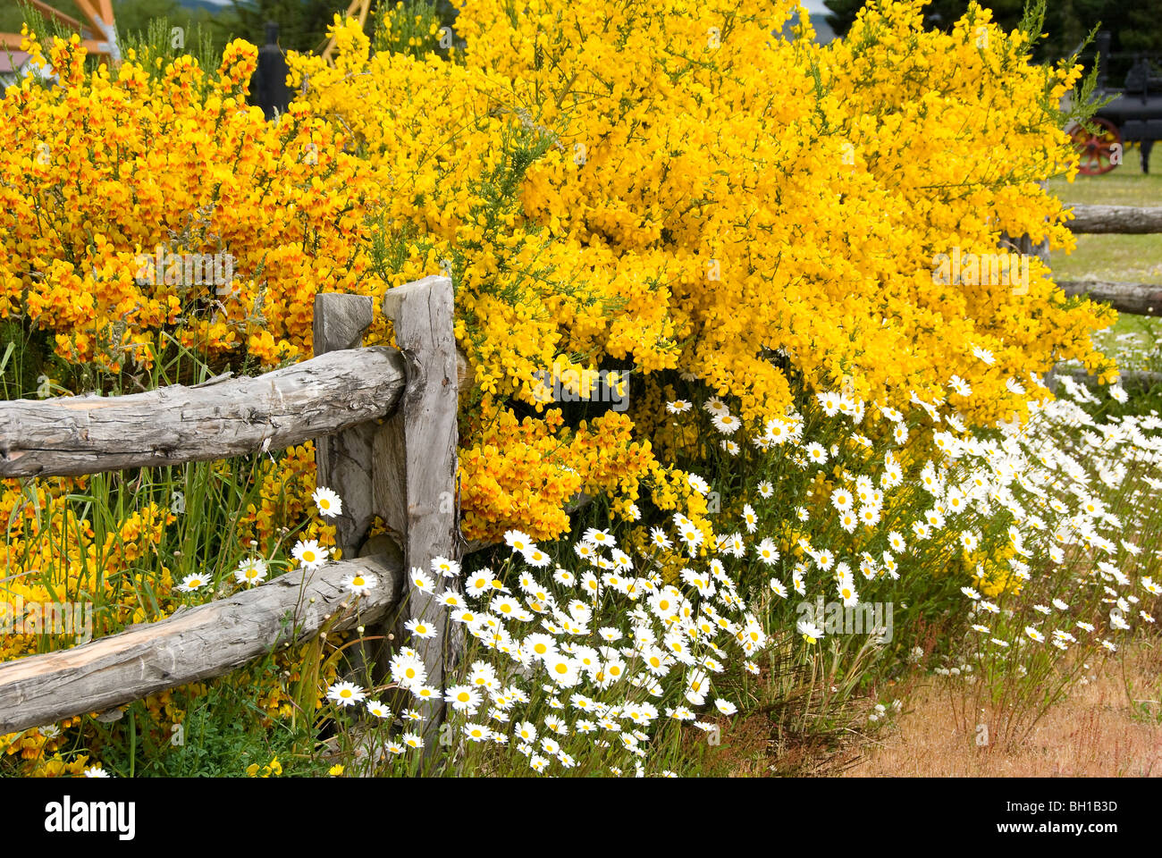 White daisies and yellow gorse flowers in Punta Arenas, Chile - Stock Image