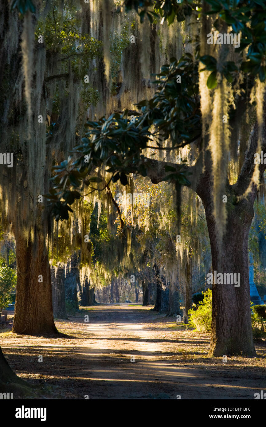 Spanish moss hangs from magnolias in Old Live Oak Cemetery, Selma, Alabama - Stock Image
