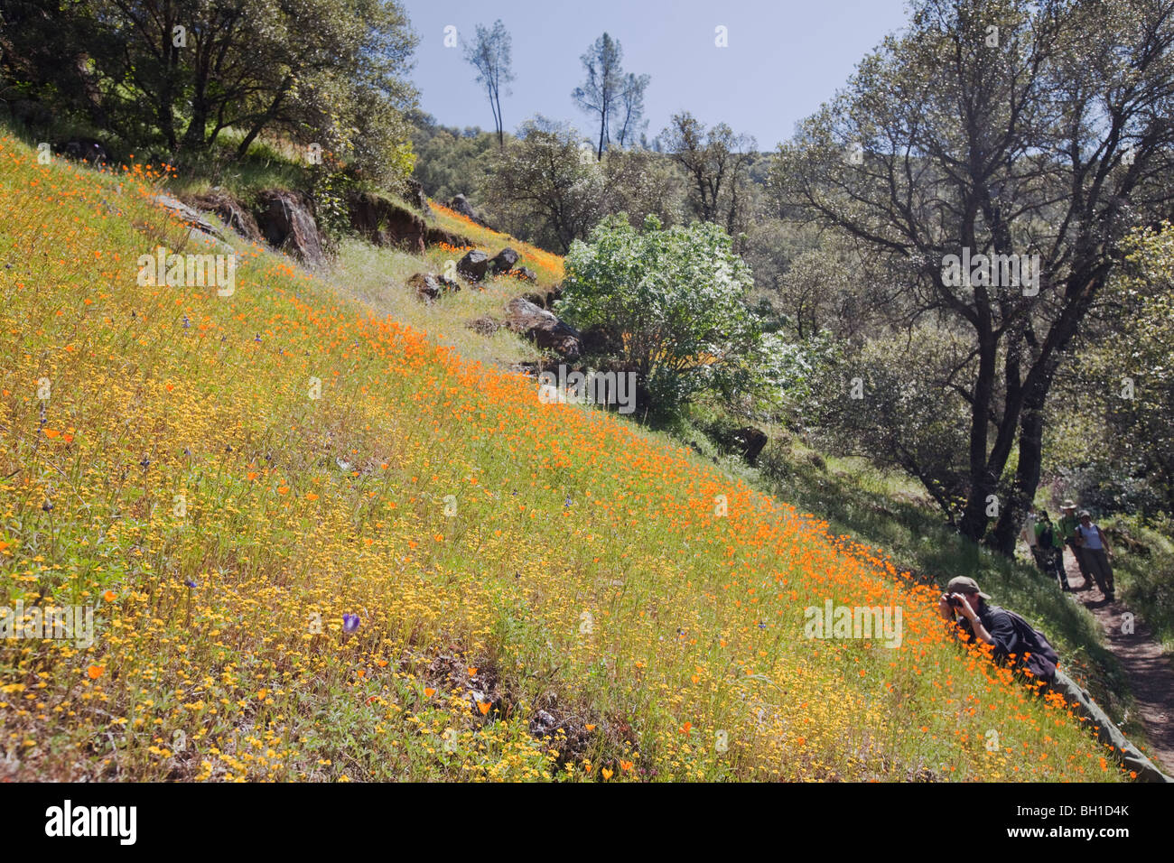 Photographer pauses on Hite Cove Trail beside the Merced River near Yosemite to photograph hillside full of wildflowers. - Stock Image