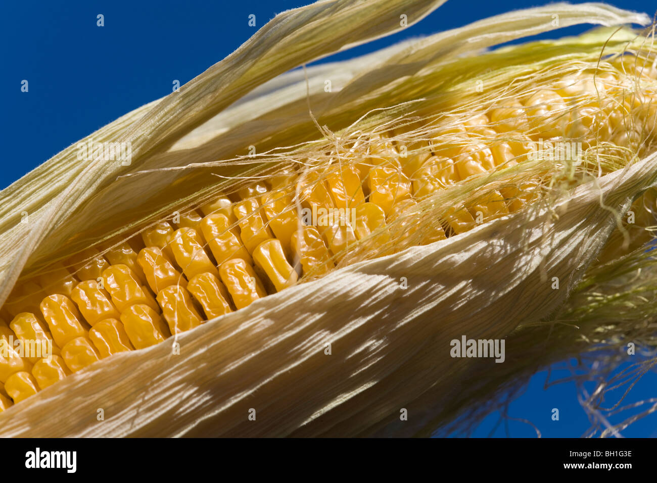 Maize Zea mays Corn Gras - Stock Image