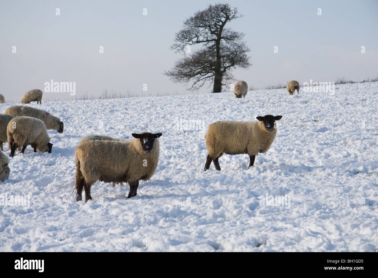 Sheep grazing in a snow covered field: Somerset, UK, January 2010 Stock Photo