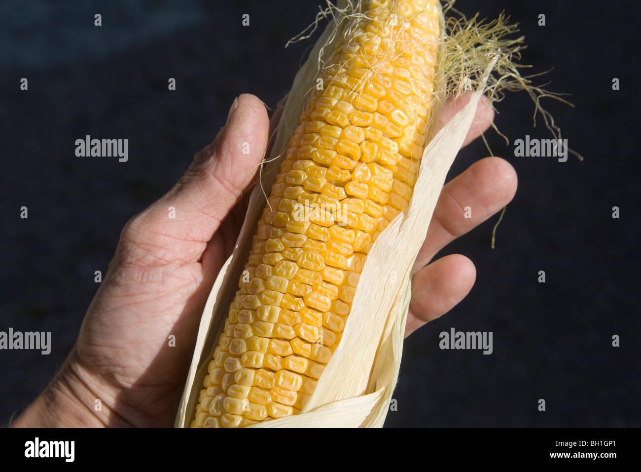 Maize Zea mays Corn - Stock Image