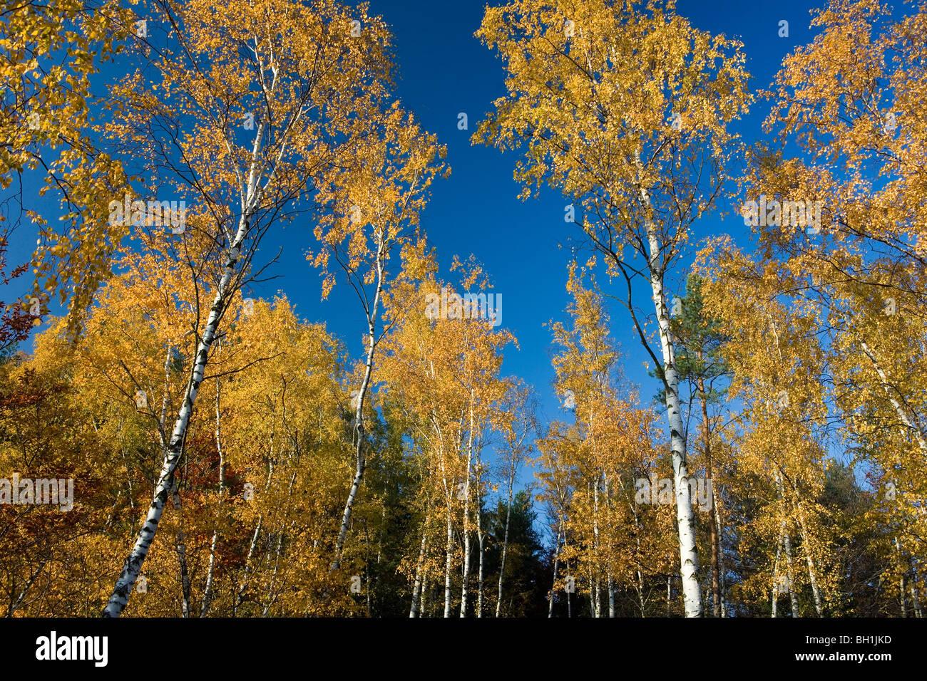 Autumnal birch trees in front of blue sky, Saxon Switzerland, Elbsandsteingebirge, Saxony, Germany, Europe - Stock Image