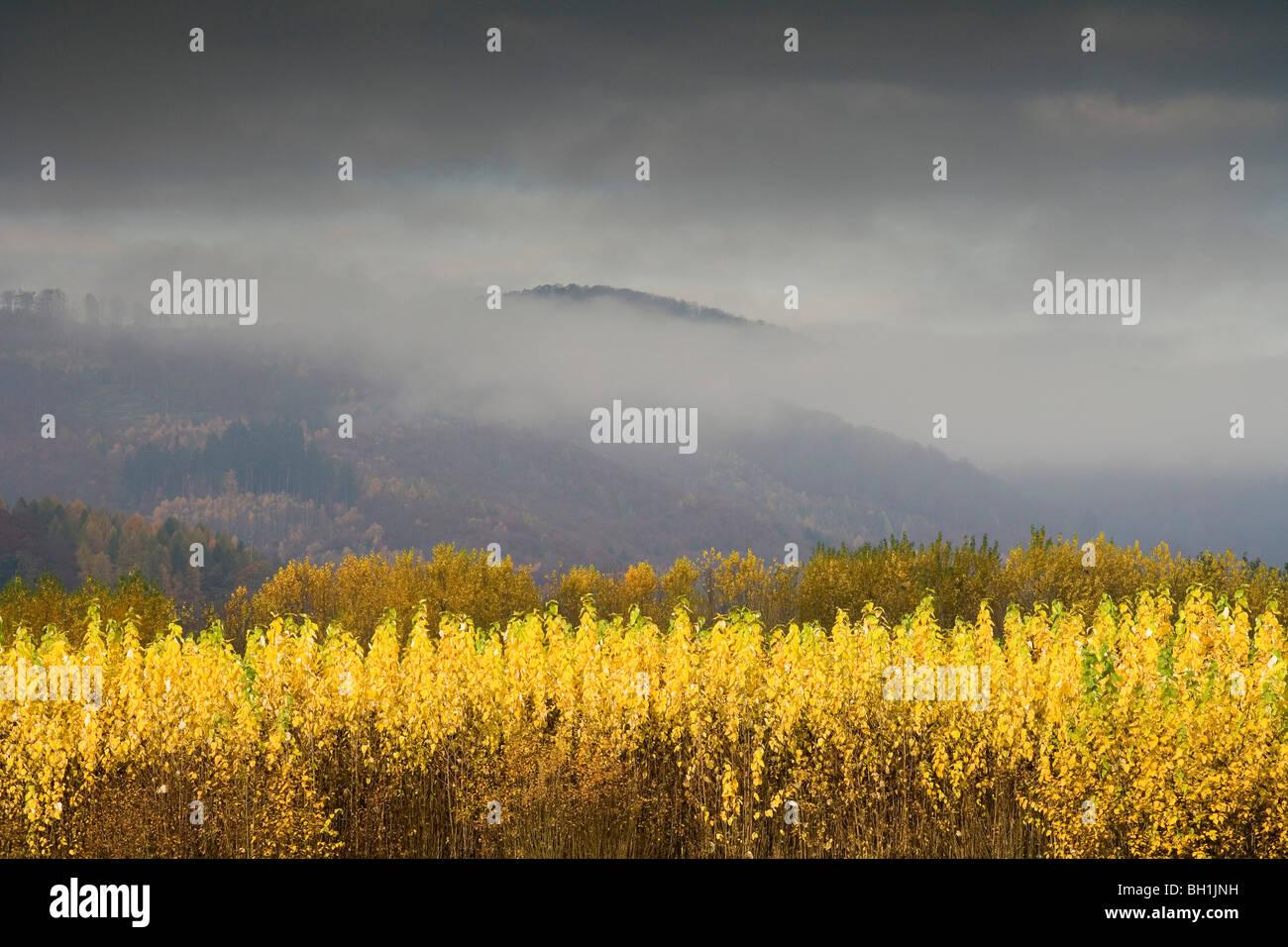 Autumnal landscape in the fog, Weserbergland, Lower Saxony, Germany, Europe - Stock Image