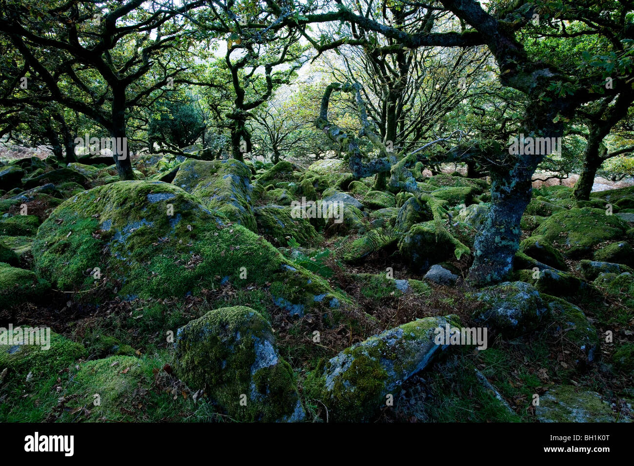 Europe, England, Devon, oak forest Wistman`s Wood in the Dartmoor near Two Bridges - Stock Image