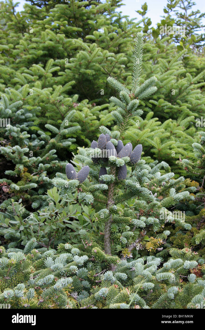 Purple Cone Spruce Stock Photos Purple Cone Spruce Stock Images