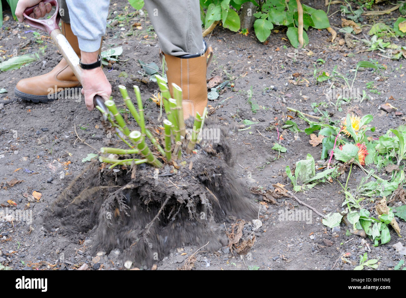 Dahlia tubers, gardener digging up tubers in preparation for winter storage, UK, October - Stock Image