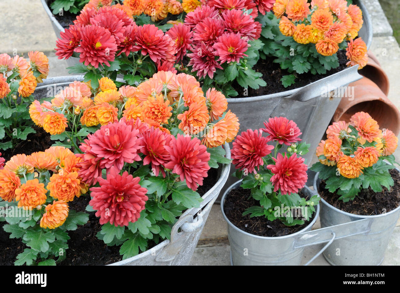 Miniature Autumn chrysanthemums, planted in old galvanized containers, Norfolk, UK, October - Stock Image