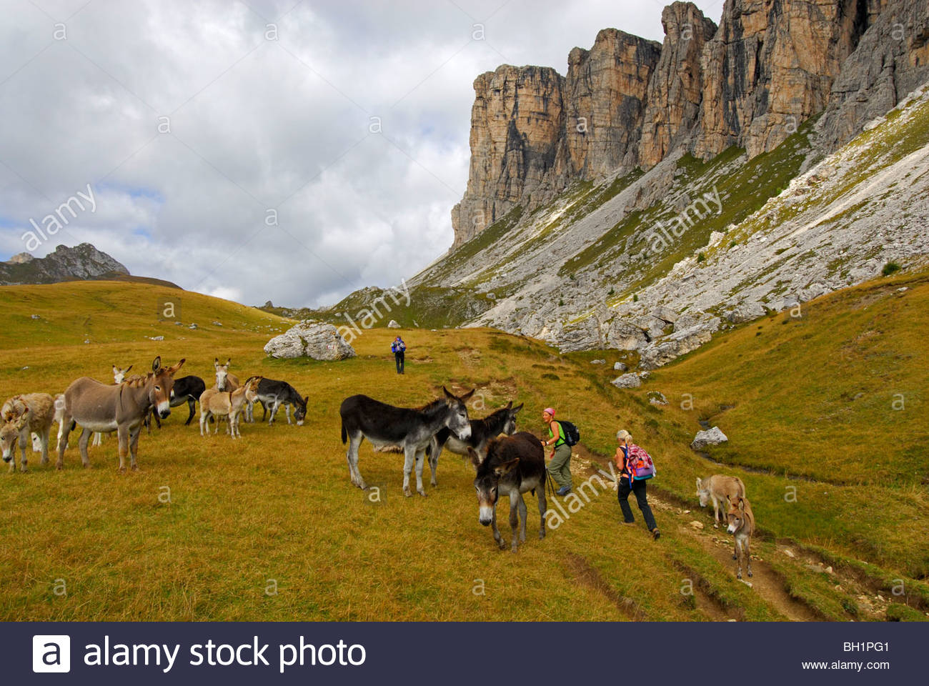 herd of donkeys with group of hikers, Forcella Giau, Alta Via delle Dolomiti No. 1, Dolomites, Cortina, Venezia, - Stock Image