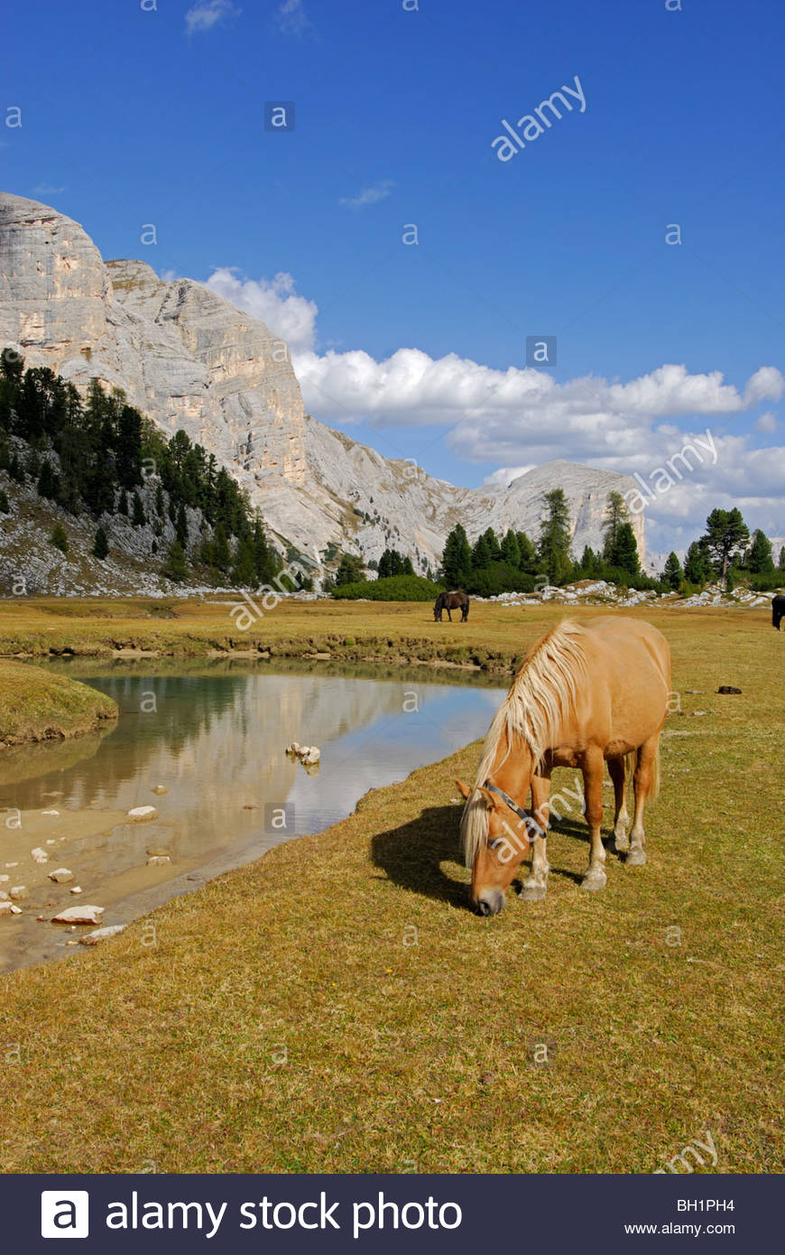 horses on pasture of Grosse Fanesalm, Alta Via delle Dolomiti No. 1, Parco Naturale Fanes-Sennes, Dolomites, South - Stock Image