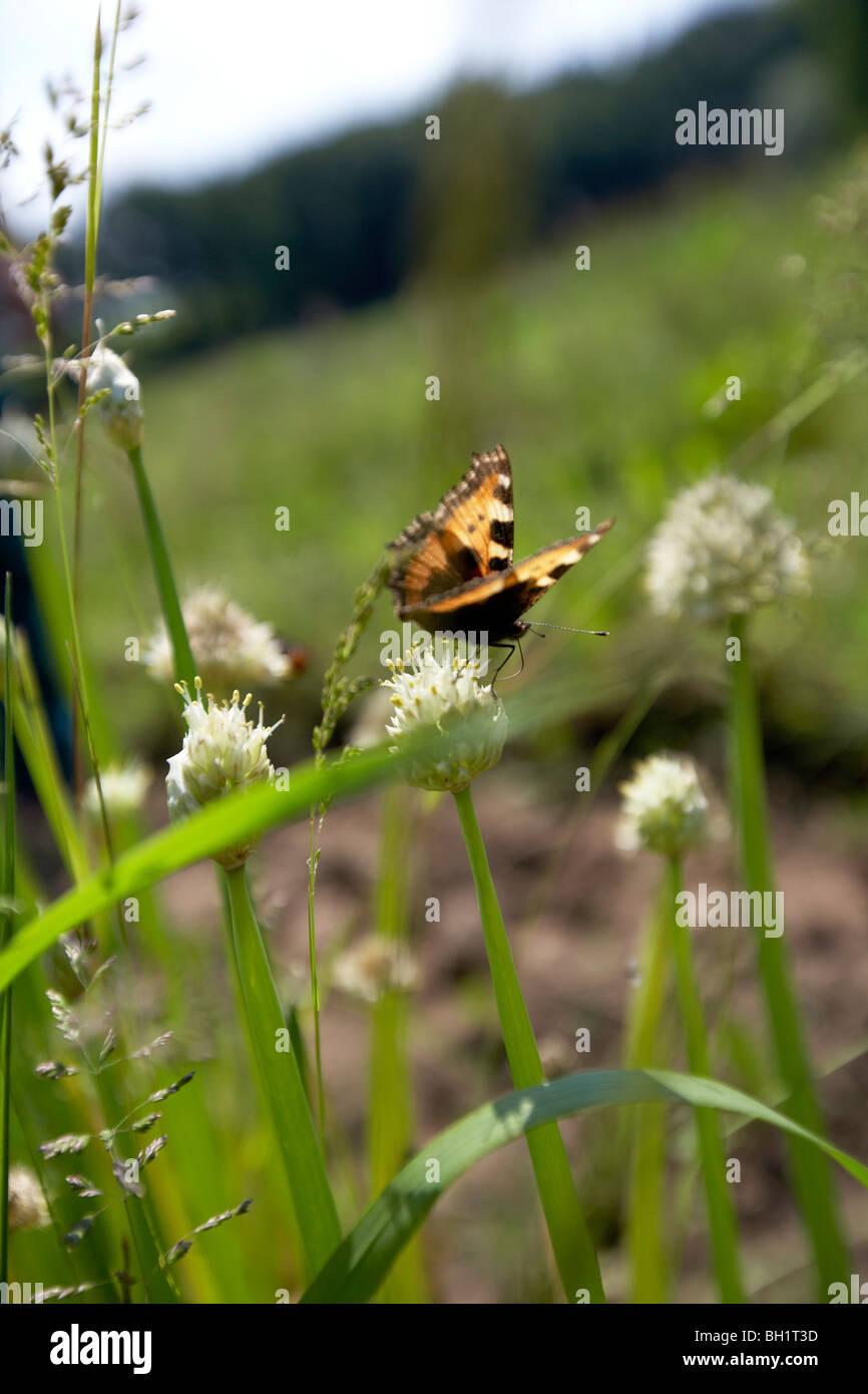 Small Tortoiseshell on welsh onion, biological dynamic (bio-dynamic) farming, Demeter, Lower Saxony, Germany - Stock Image