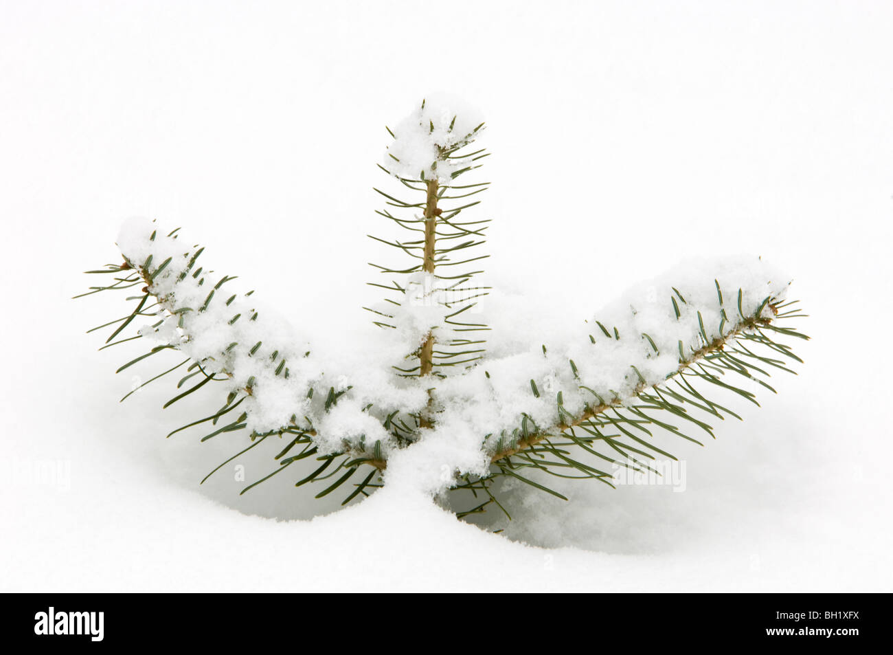 White spruce (Picea glauca) seedling branches with fresh snow, Greater Sudbury, Ontario, Canada - Stock Image