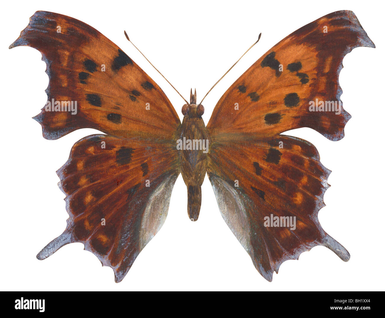 Question Mark butterfly - Stock Image