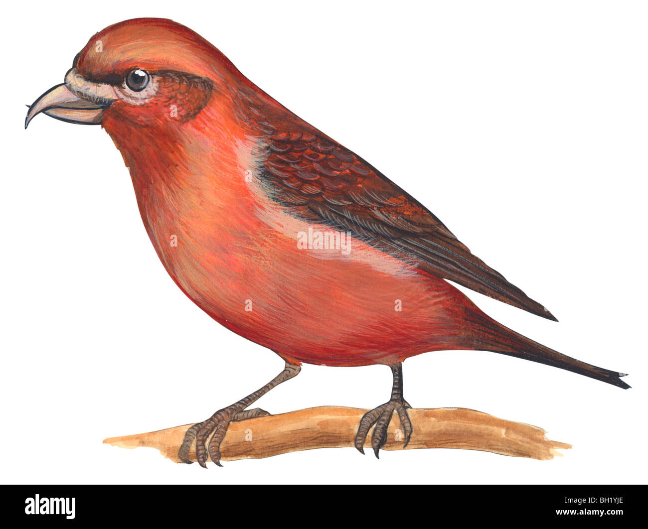 Red crossbill - Stock Image
