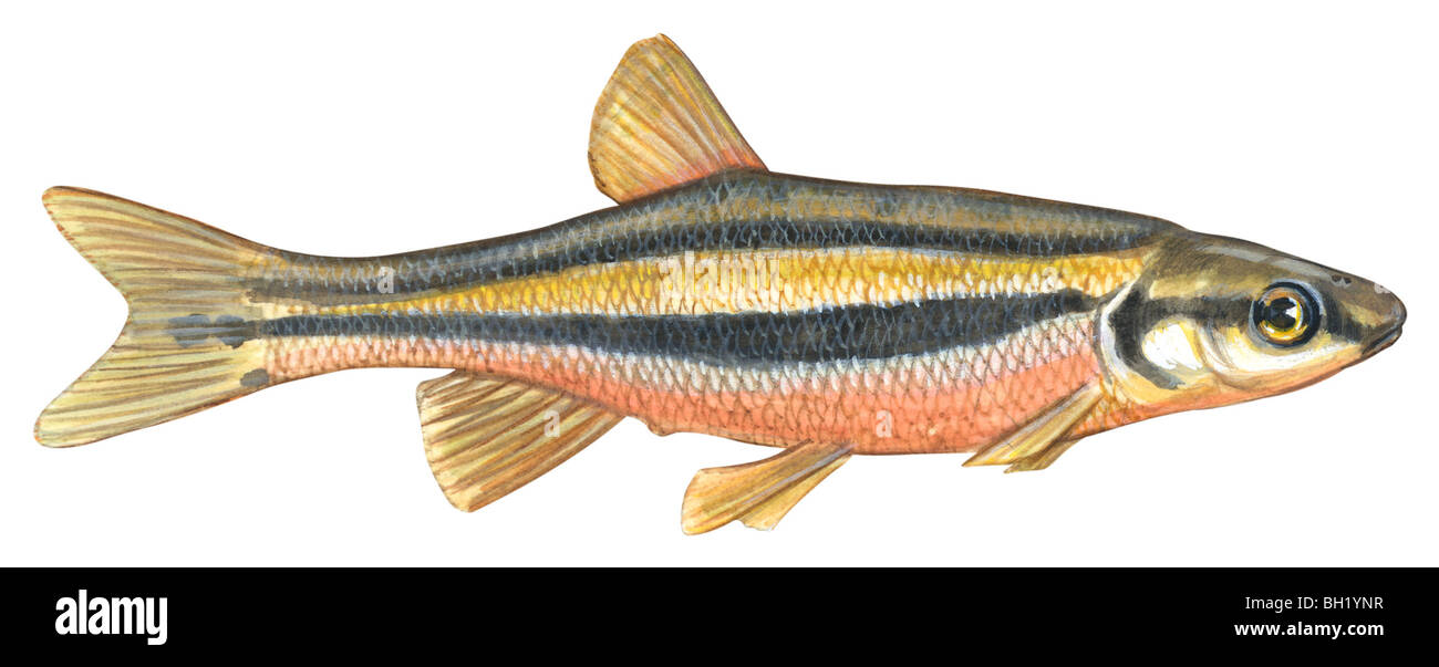 Southern redbelly dace - Stock Image
