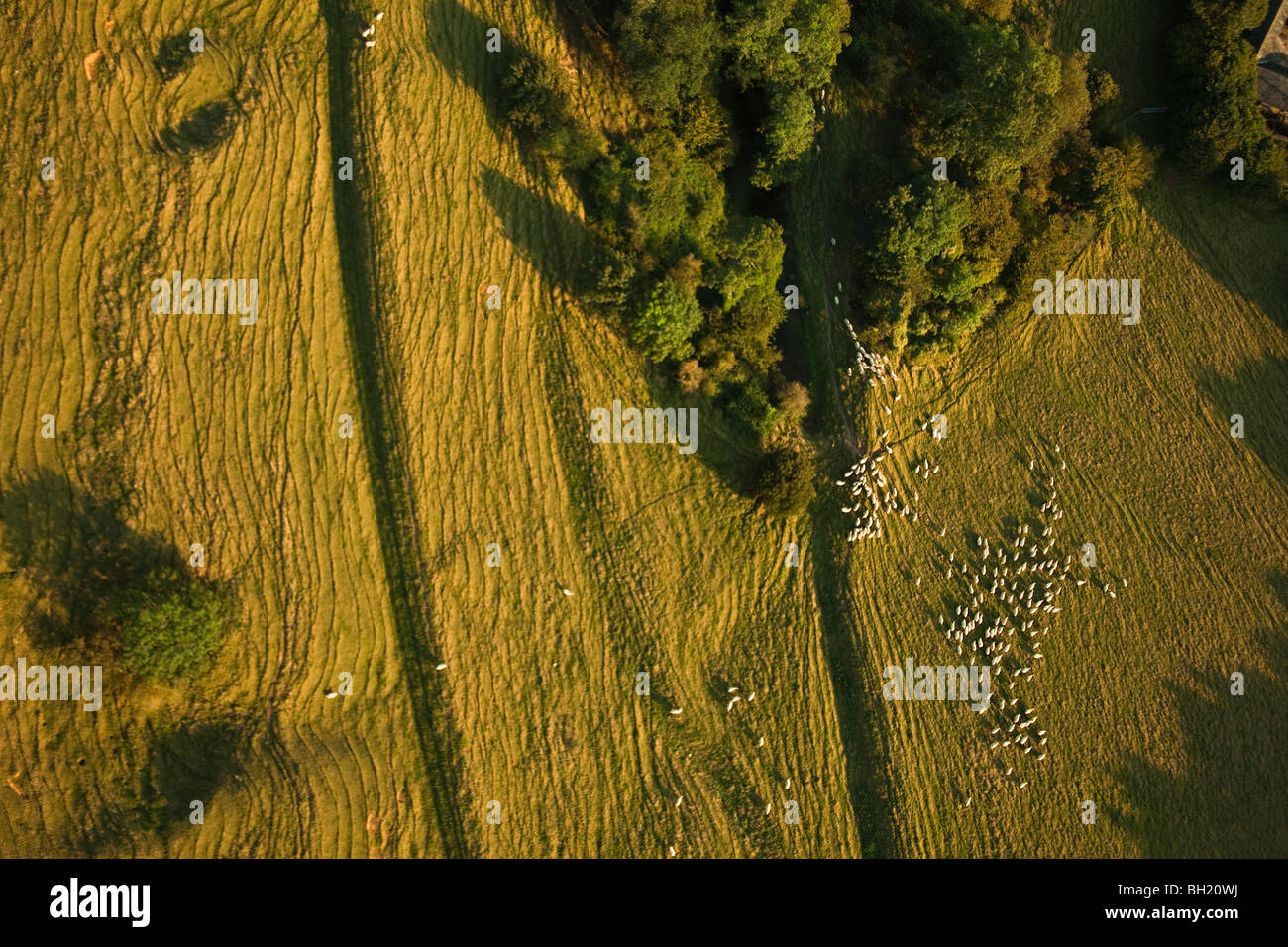 Aerial view of sheep on farming land - Stock Image