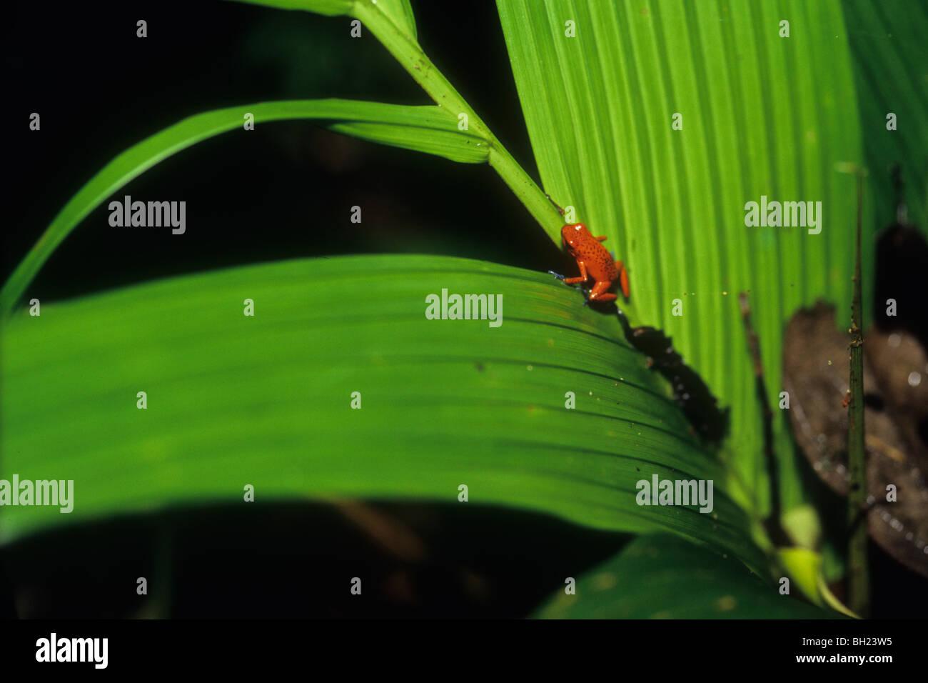 Strawberry poison dart frog (Dendrobates pumilio)  crawling up jungle leaf - Stock Image