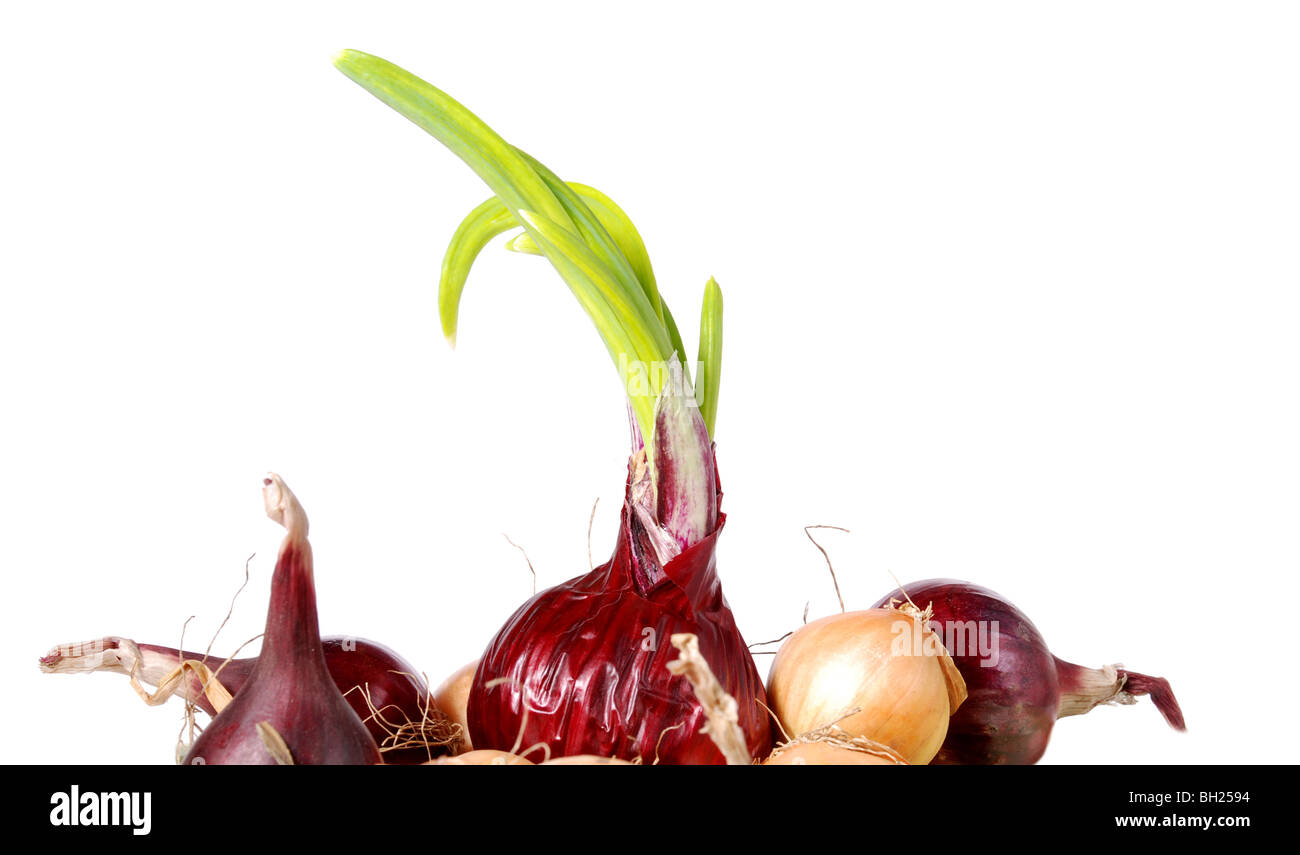 sprouting red onion against white - Stock Image