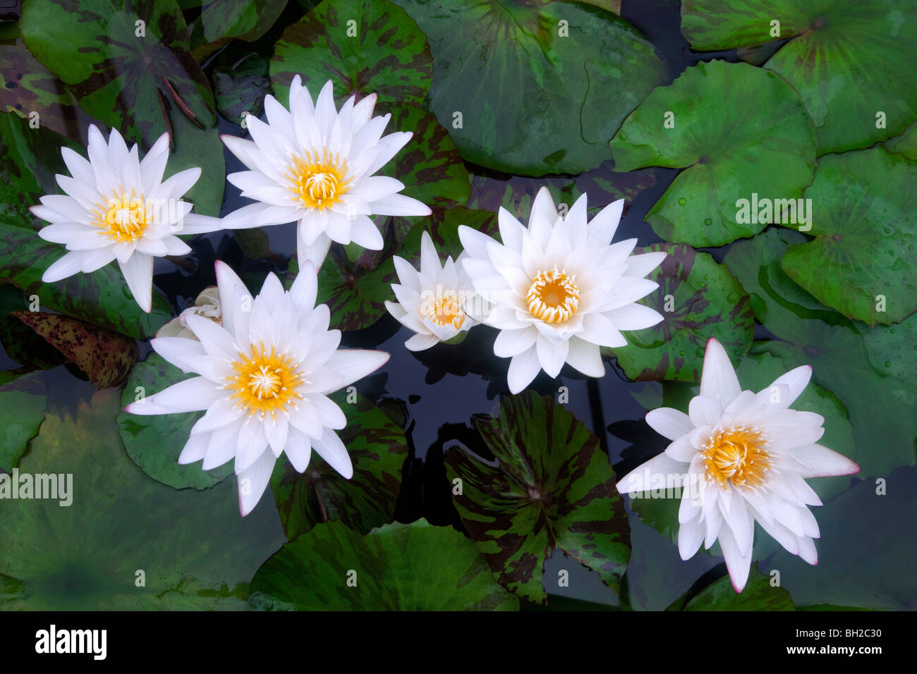 White tropical water lilies. Hughes Water Gardens, Oregon - Stock Image