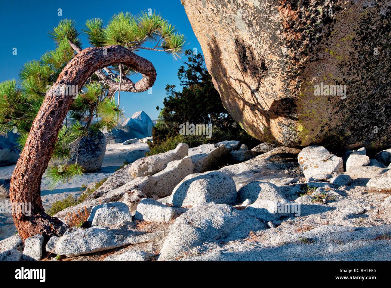 Half Dome seen through twisted tree. Yosemite National Park, California Stock Photo