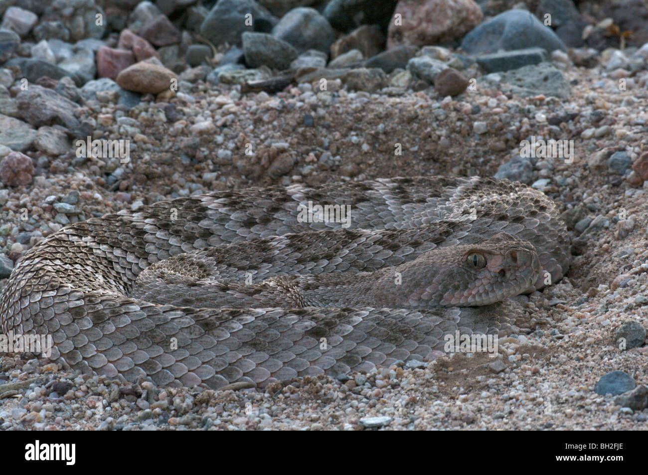 A Western Diamond-backed Rattlesnake (Crotalus atrox) coiled in the sand at dusk. Stock Photo