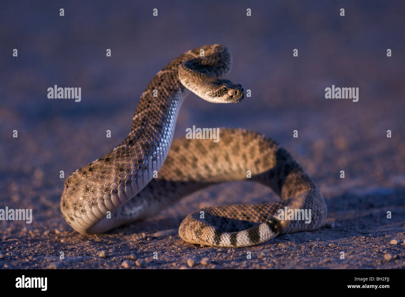 A Western Diamond-backed Rattlesnake (Crotalus atrox) in a defensive posture at dusk, illuminated by car headlights. Stock Photo