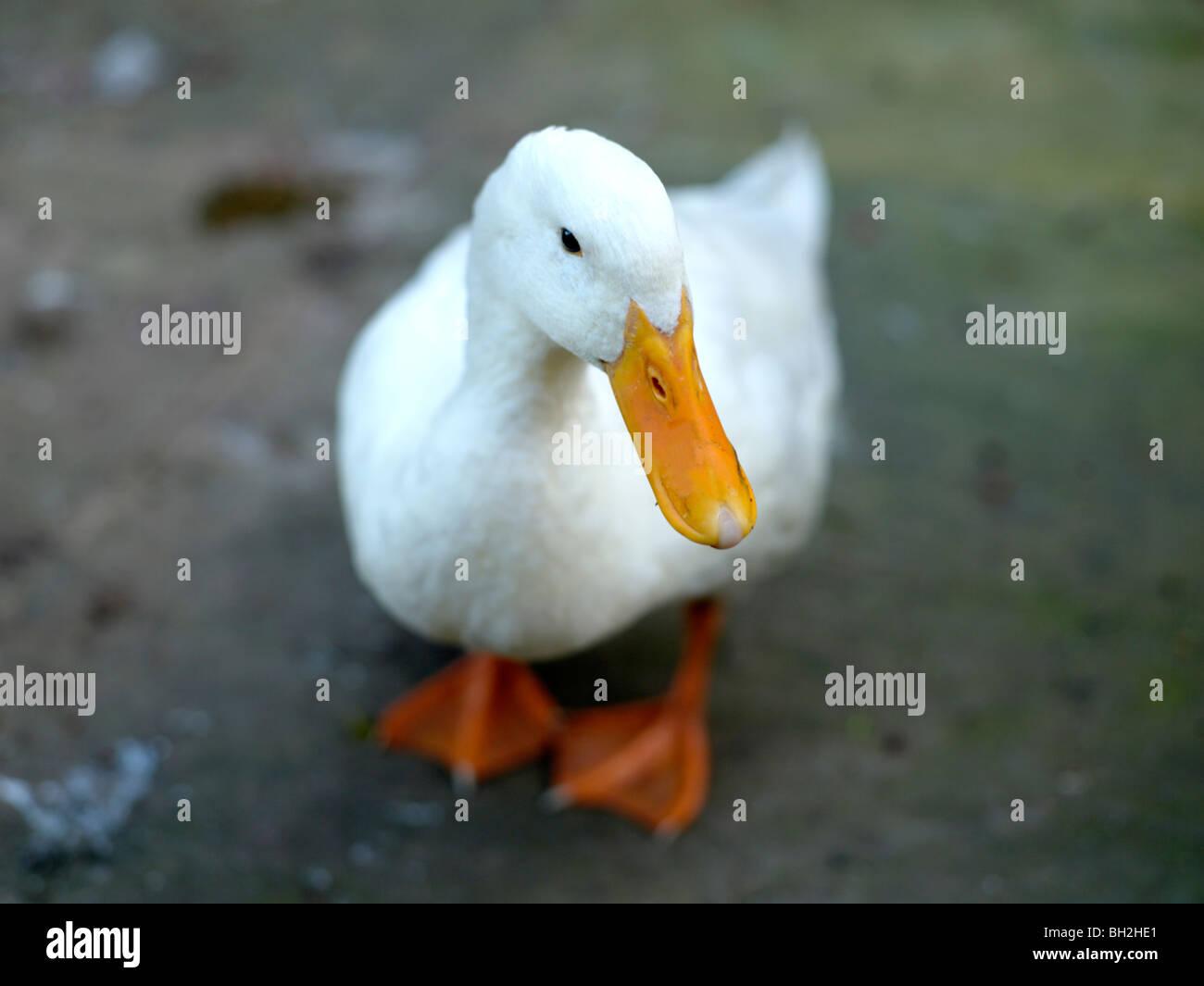White duck with yellow beak - Stock Image