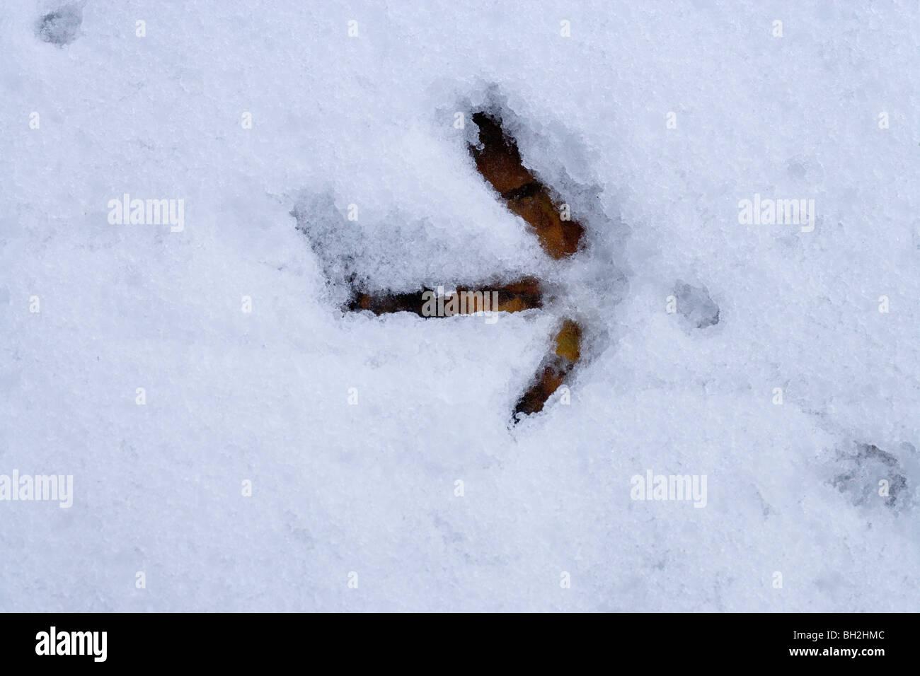 Pheasant (Phasianus colchicus). Left foot print in melting snow. - Stock Image