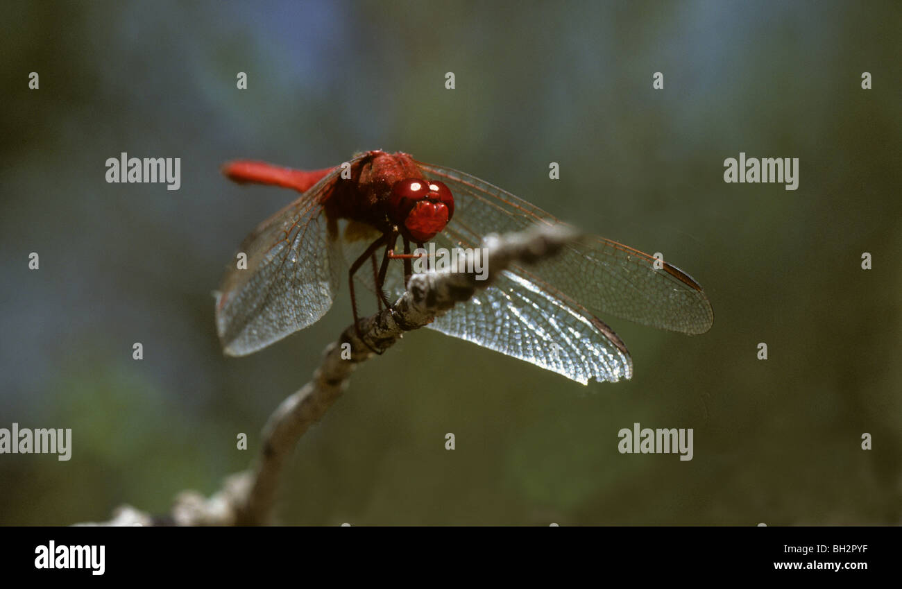 Broad scarlet dragonfly, Crocothemis erythraea resting on perch Camargue, France Stock Photo