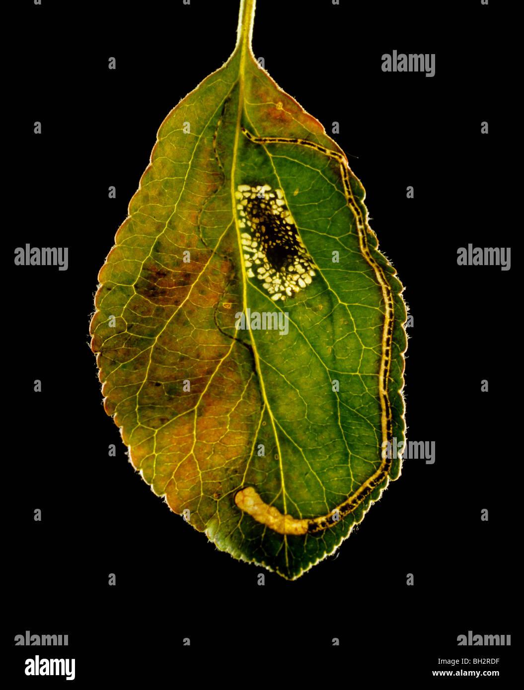 Leaf miner damage to apple leaf with round (Lithocolletis) & long (Lyonetia) mines - Stock Image