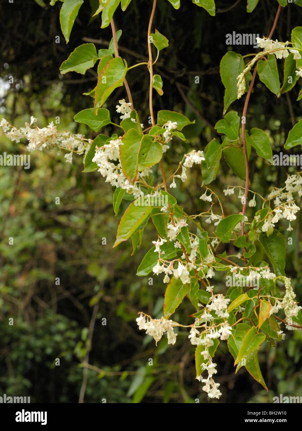 Russian-vine, fallopia baldschuanica - Stock Image