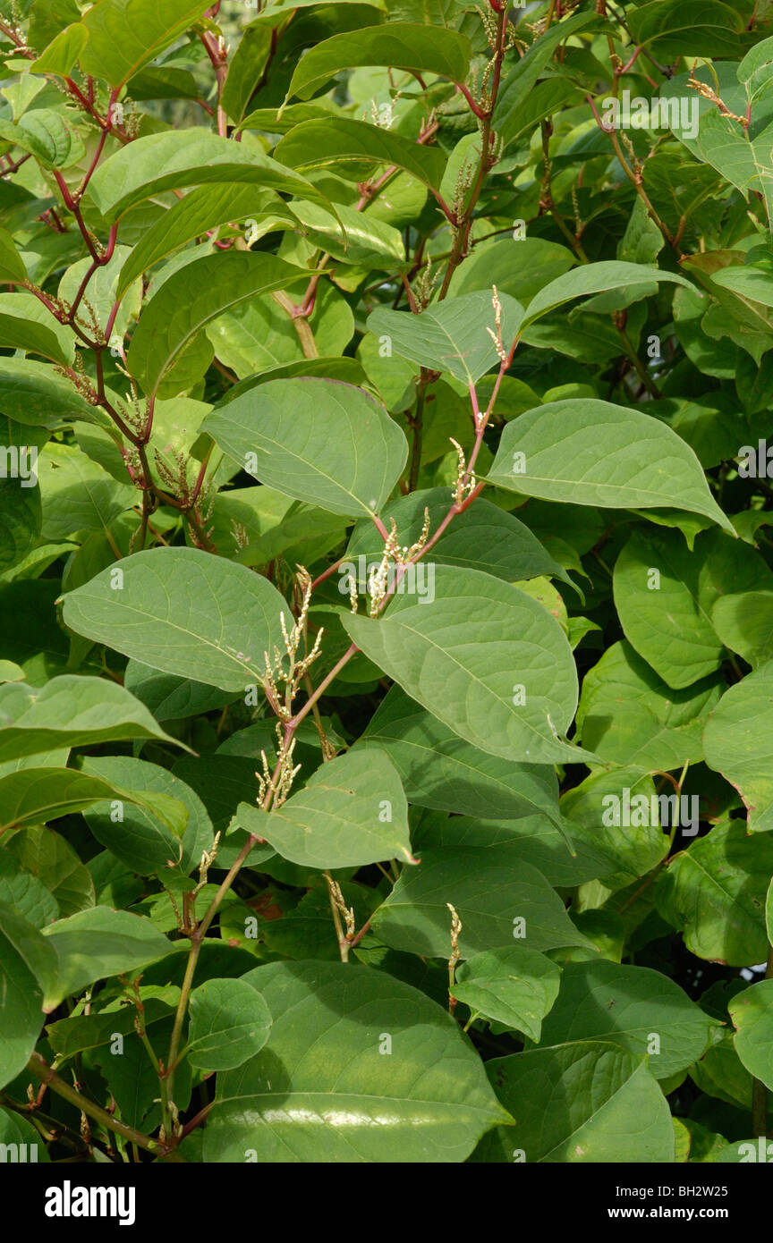 Japanese Knotweed, fallopia japonica - Stock Image
