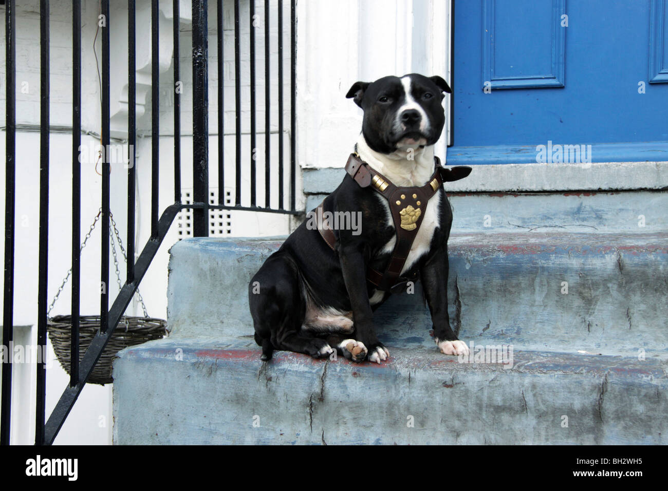 Staffordshire Bull Terrier on the steps of a house in London - Stock Image