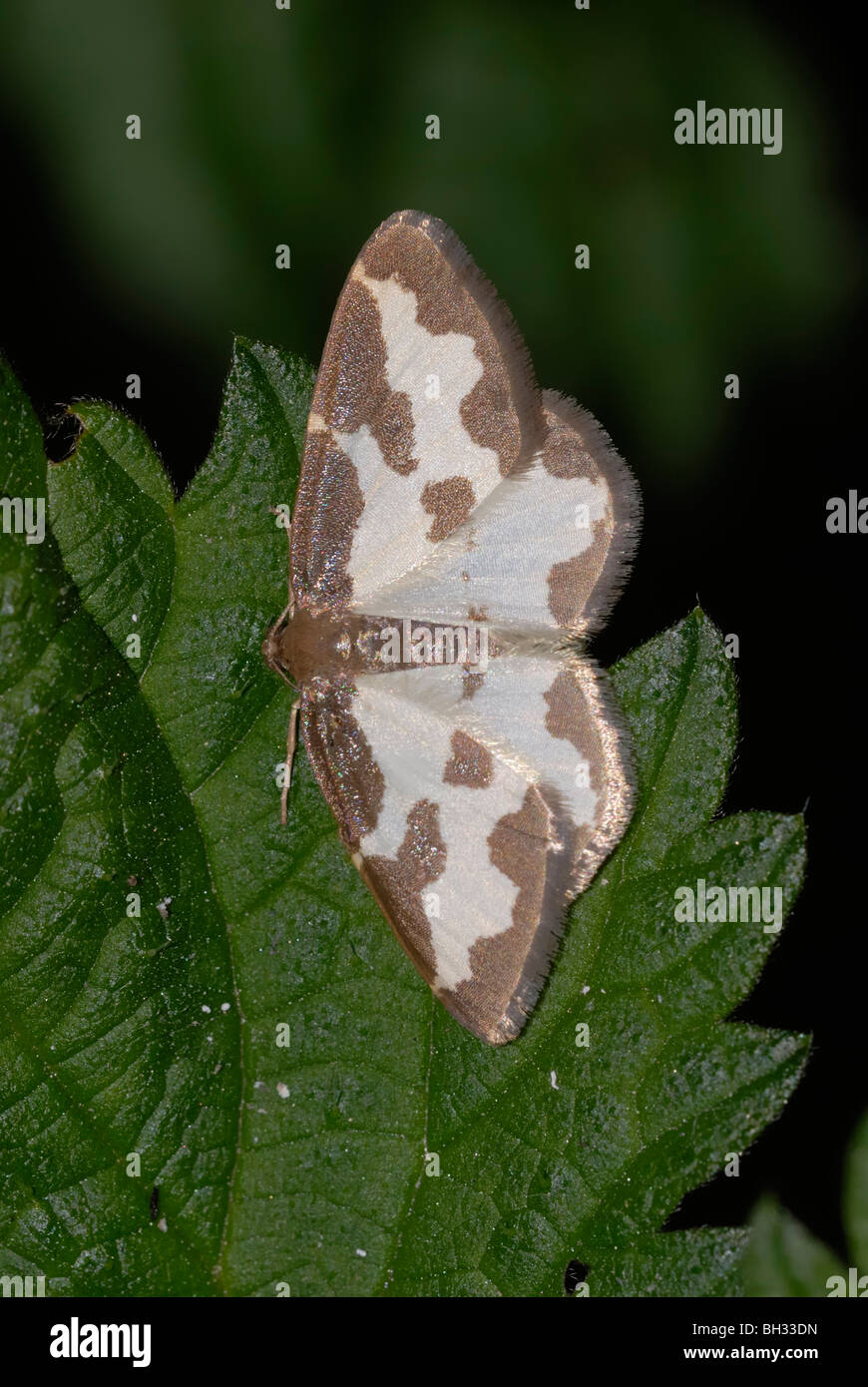 Clouded Border Moth, Lomaspilis marginata, Wales. - Stock Image