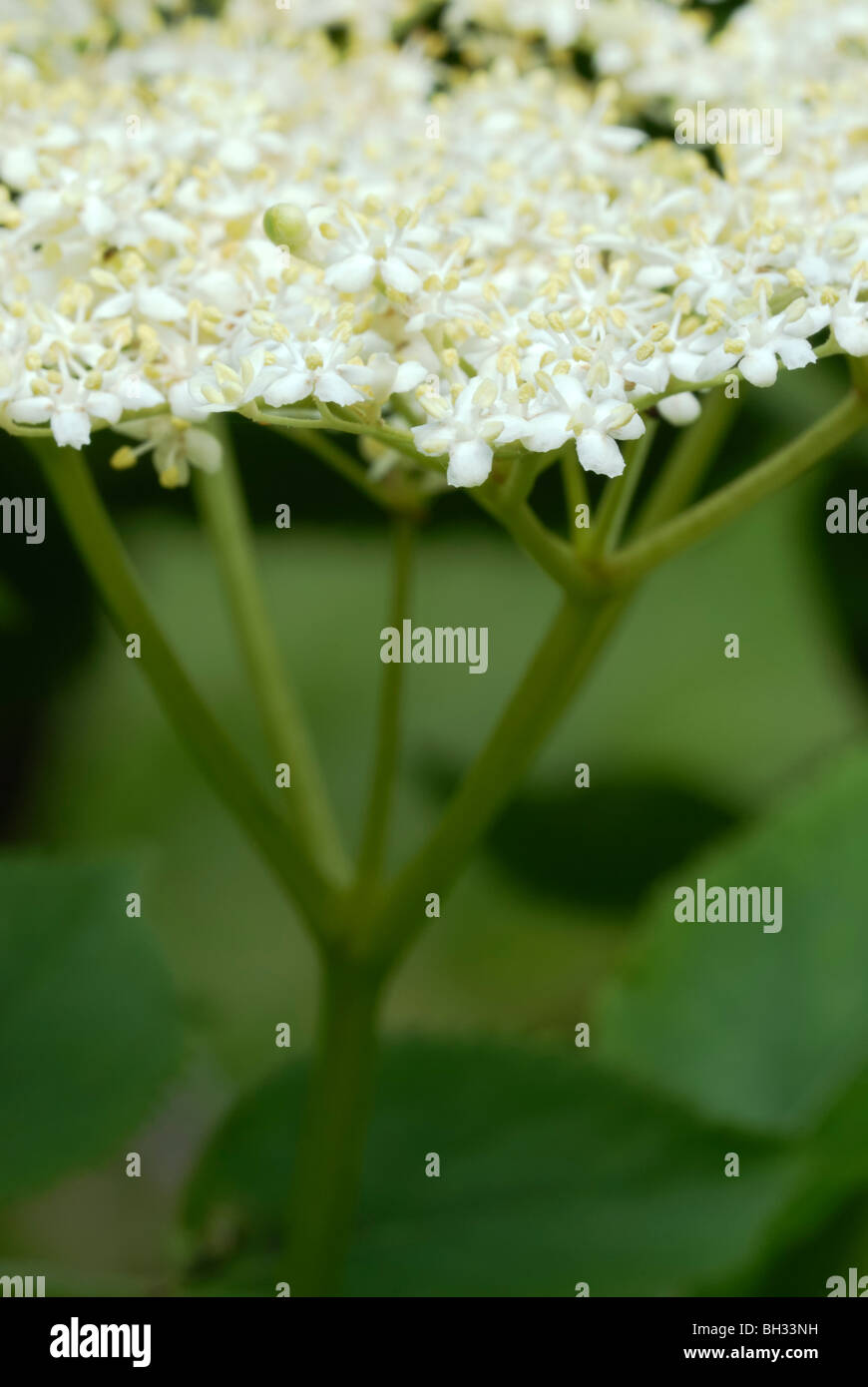 Close up of flower of Elder tree, Sambucus nigra. - Stock Image