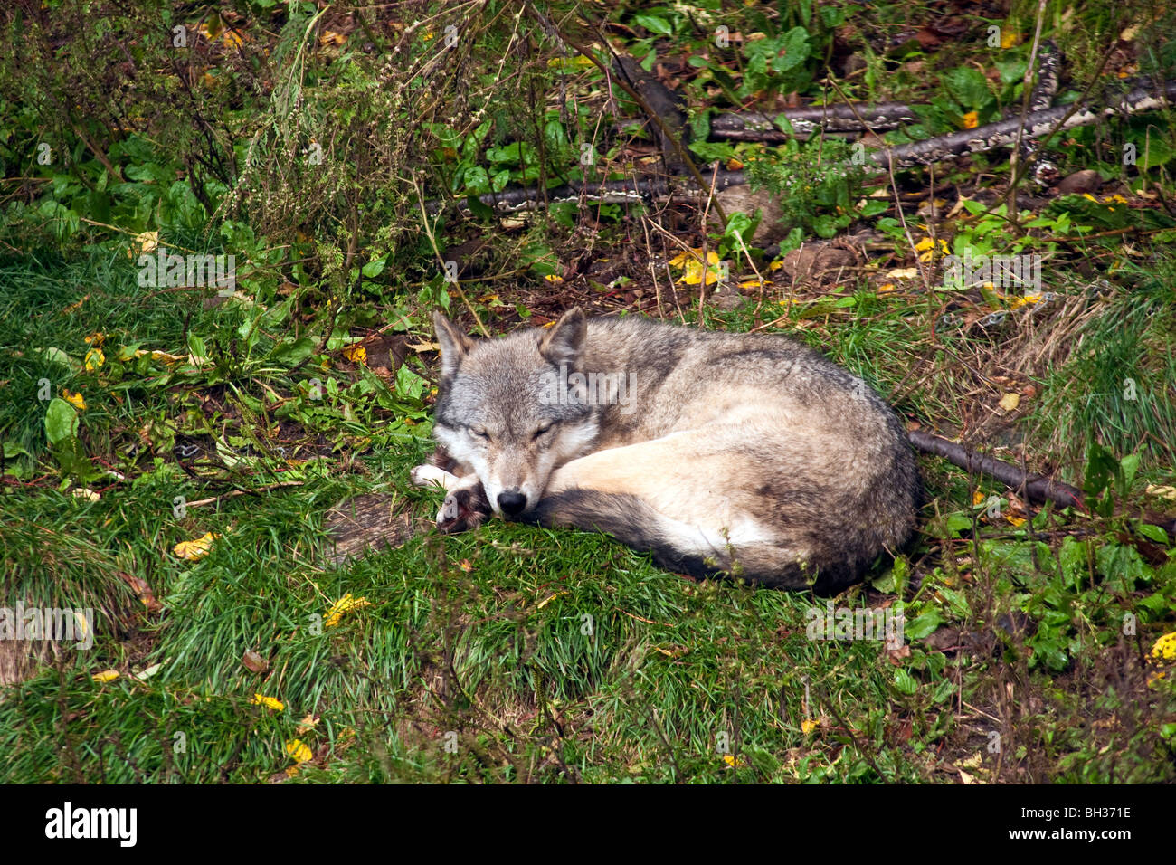 Gray Wolf (Canis Iupus spp.) as seen in the Northern Hemisphere Canada NOrth America - Stock Image