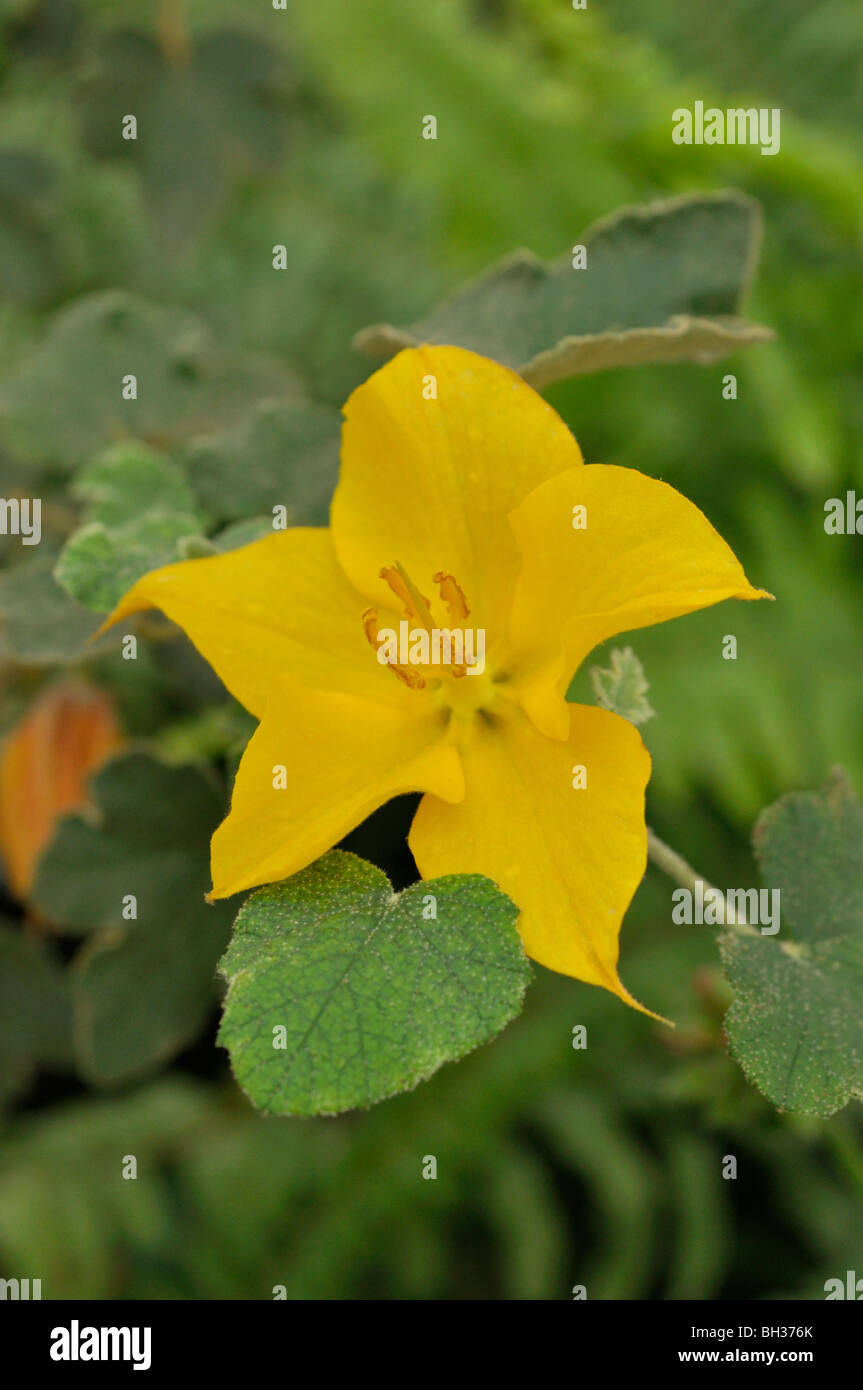 Mexican flannelbush (Fremontodendron mexicanum) - Stock Image