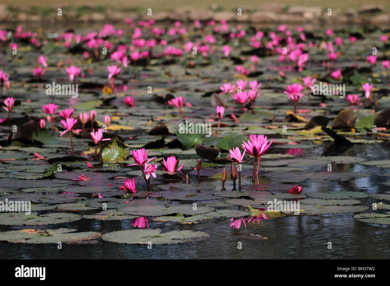 Lotus Flowers In A Pond At The Temple Complex Of Angkor Wat In Stock