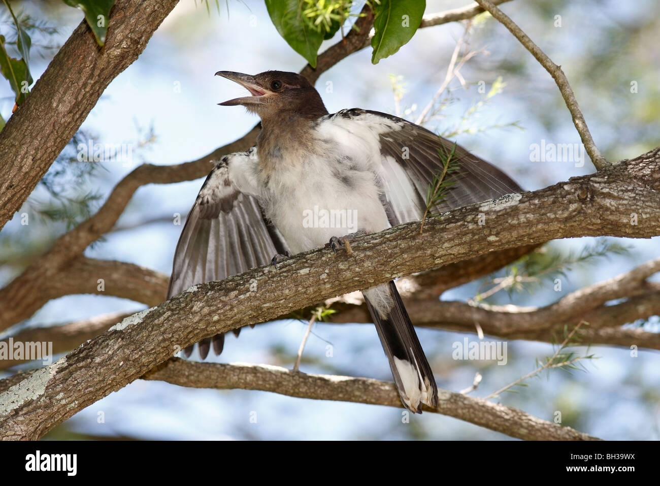 Juvenile Pied, or Black Headed Butcherbird, Cracticus nigrogularis, with wings open, calling for food from a parent. - Stock Image