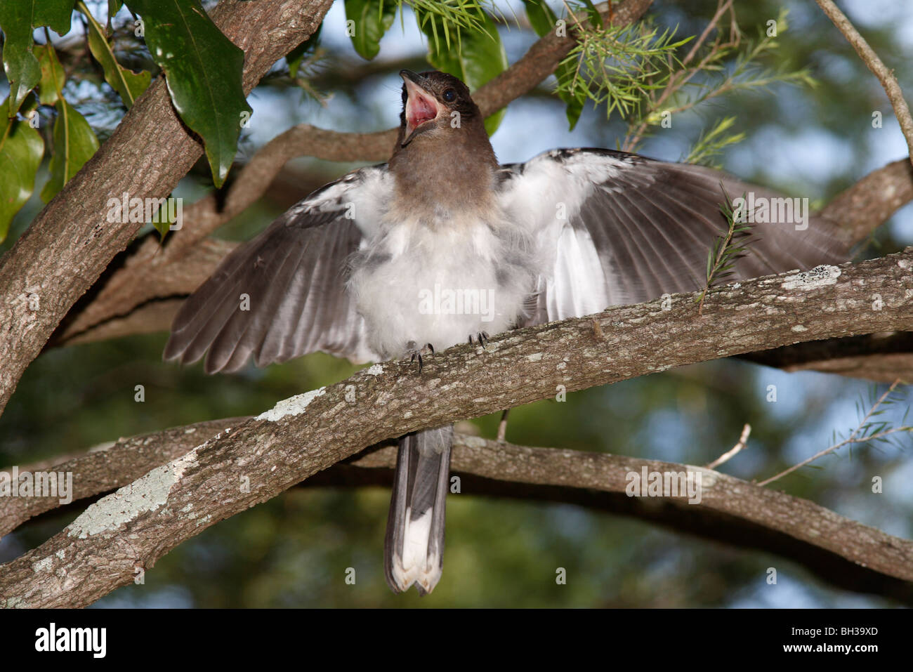 Juvenile Pied Butcherbird, or Black Headed Butcherbird, Cracticus nigrogularis, with wings open, calling for food - Stock Image