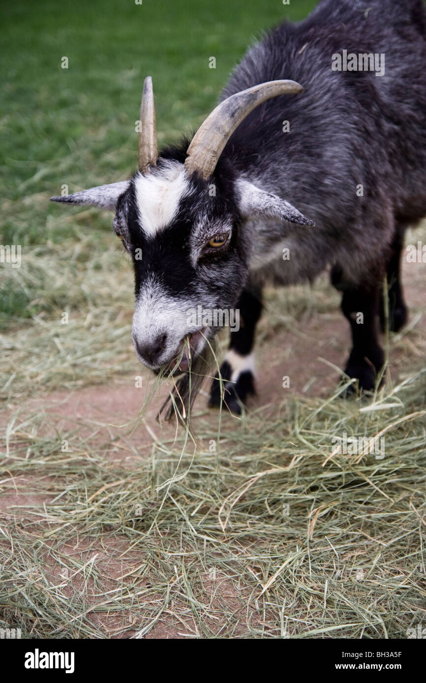 A cute black and white African Pygmy goat munching on some hay. - Stock Image
