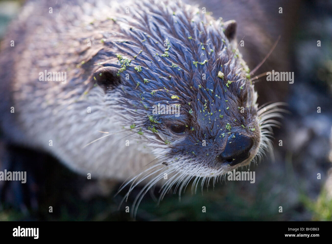 American River Otter (Lontra canadensis). Portrait. - Stock Image