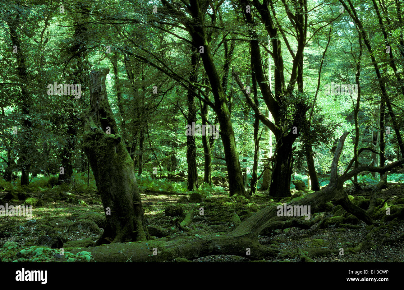 Living and dead beech trees at Dendles Wood National Nature Reserve Devon July 1999 - Stock Image