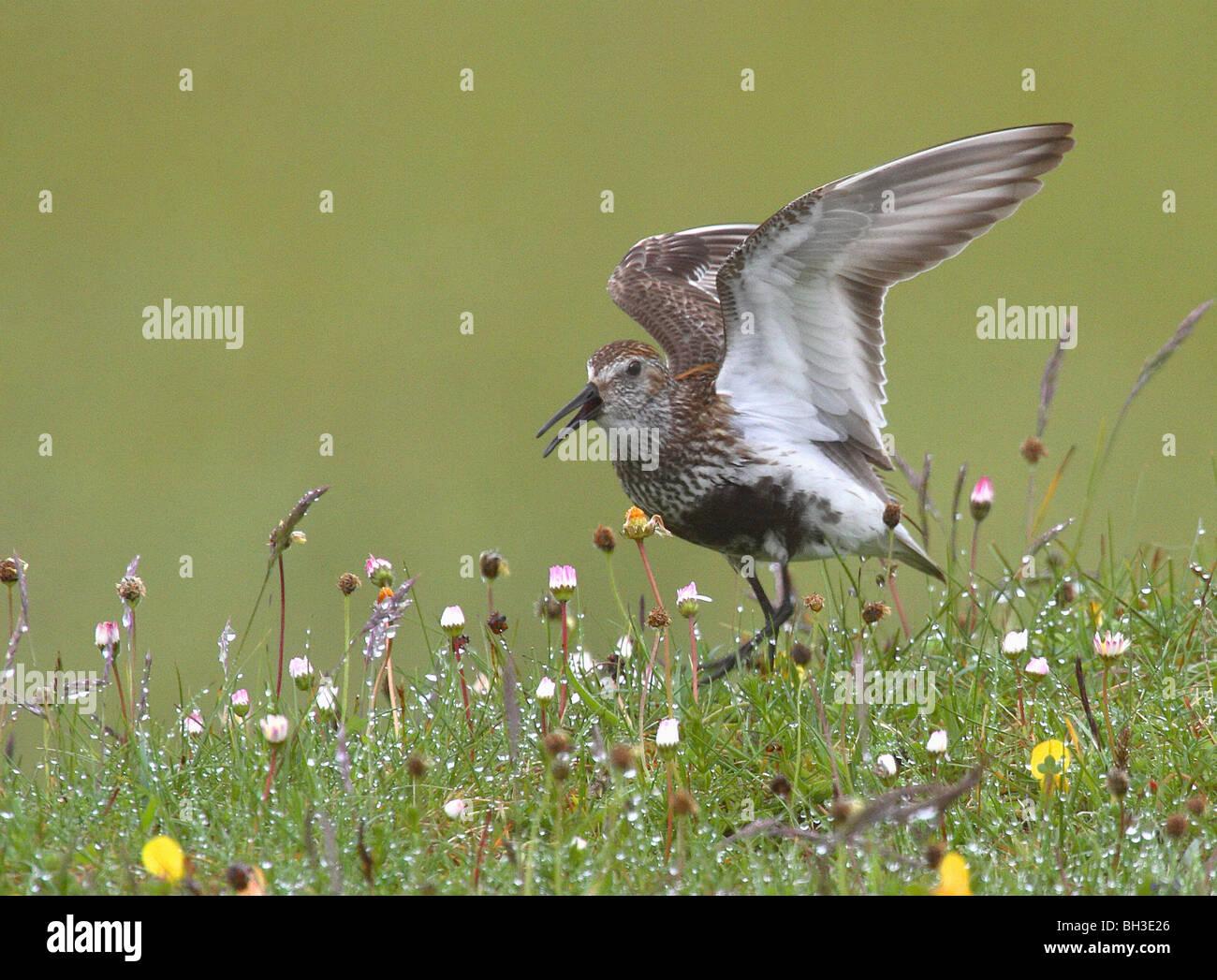 Dunlin amongst the machair flowers. Bernaray, Outer Hebrides, Scotland - Stock Image