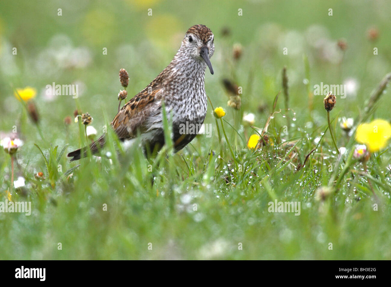 Dunlin in breeding plumage. Bernaray, Outer Hebrides, Scotland - Stock Image
