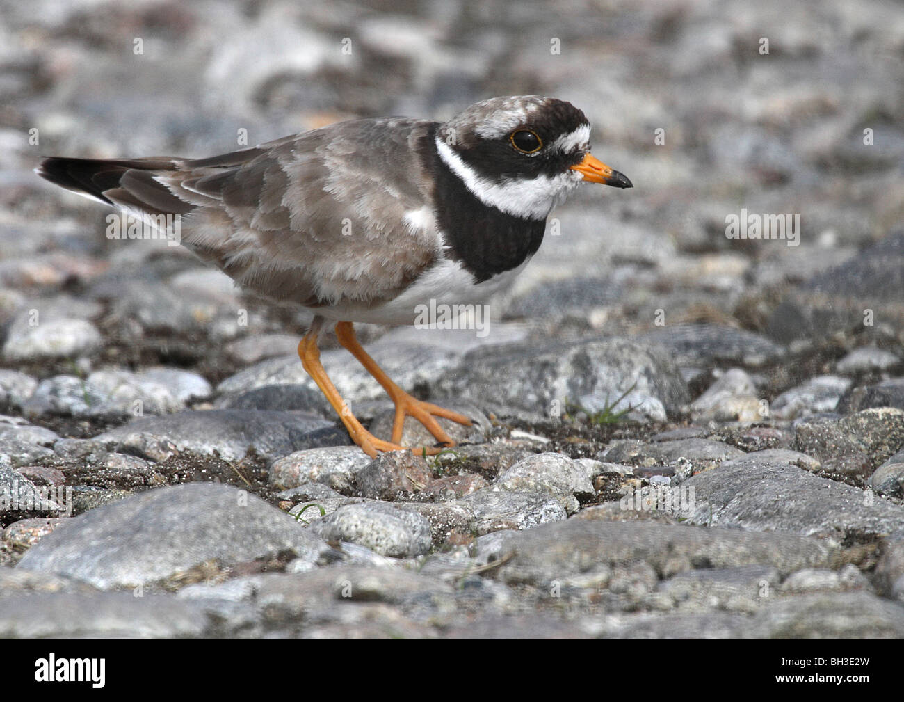 Ringed plover on old shore. South Uist, Outer Hebrides, Scotland - Stock Image