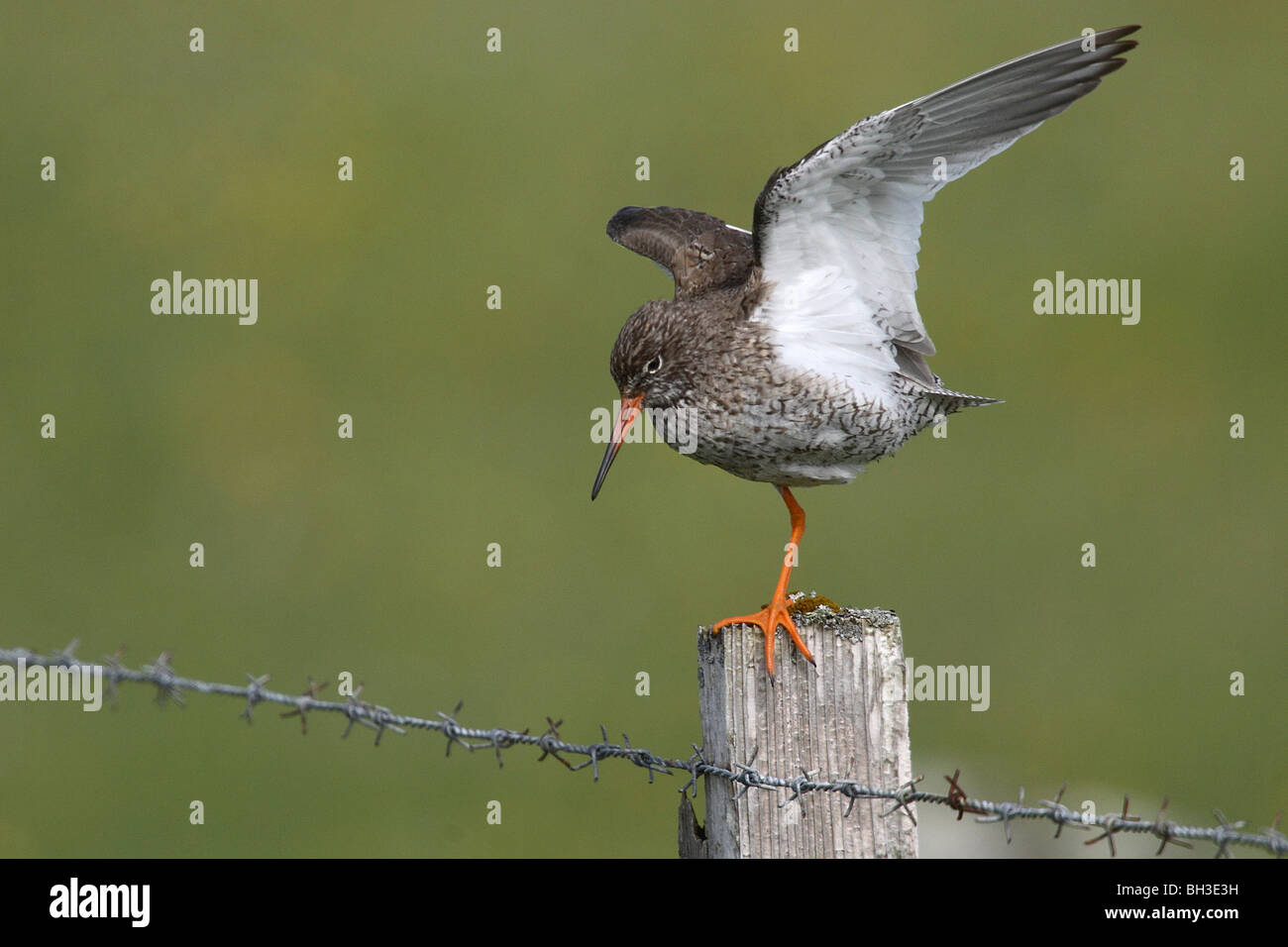 Redshank attempting to maintain its lookut from a fence post in a very strong wind. South Uist, Outer Hebrides, Stock Photo