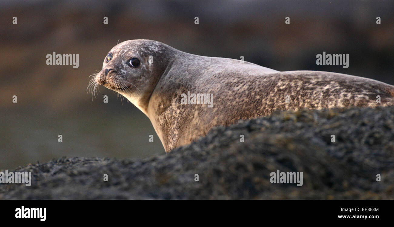 Common seal in evening light. South Uist, Outer Hebrides, Scotland. - Stock Image