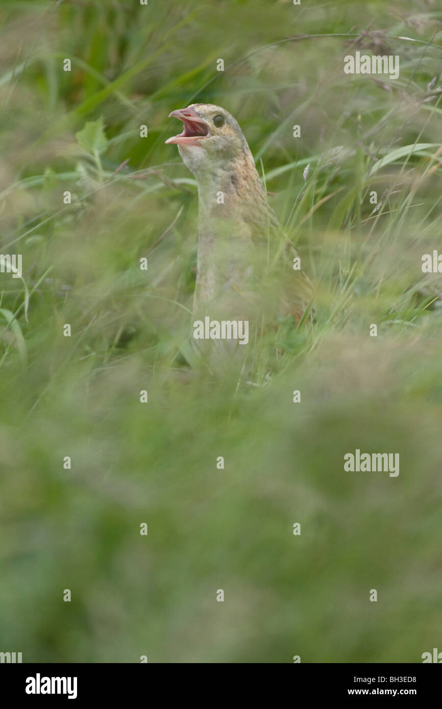 The Corncrake is more frequently heard than seen. Barra, Outer Hebrides, Scotland. - Stock Image